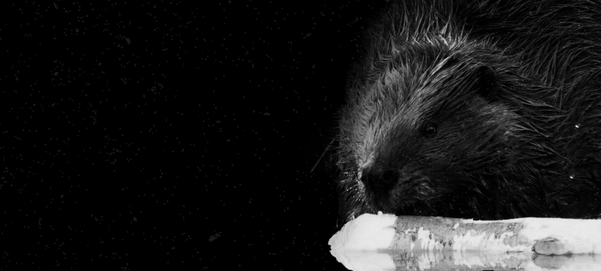 Photo d'un castor