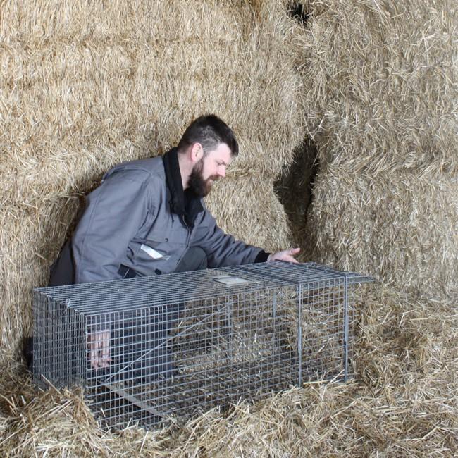Gestion des ratons laveurs en milieu agricole